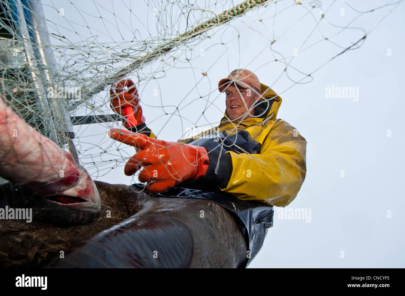 Commercial fisherman picks sockeye salmon off a gillnet at a set net site in the Naknek River, Bristol Bay, Alaska, - Stock Image