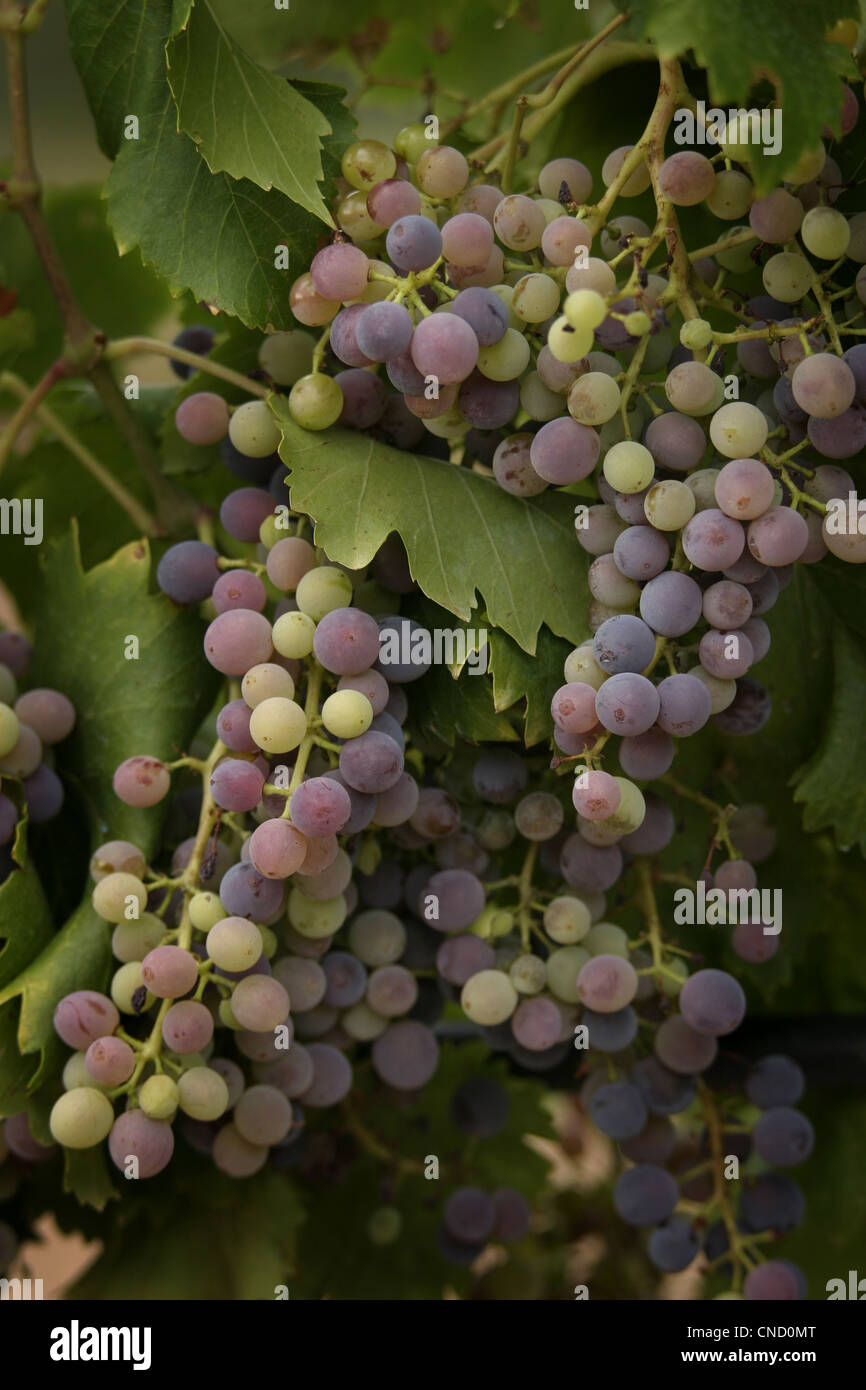 Picture: Steve Race - Grenache grapes (Clone VCR 3) ripening in Catalunya, Spain. - Stock Image