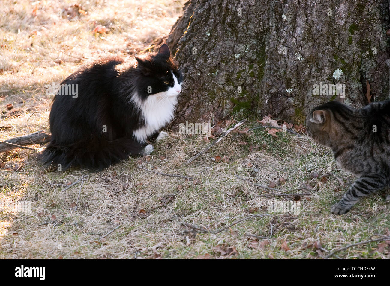Two outdoor cats staring each other down while having a territorial confrontation. - Stock Image