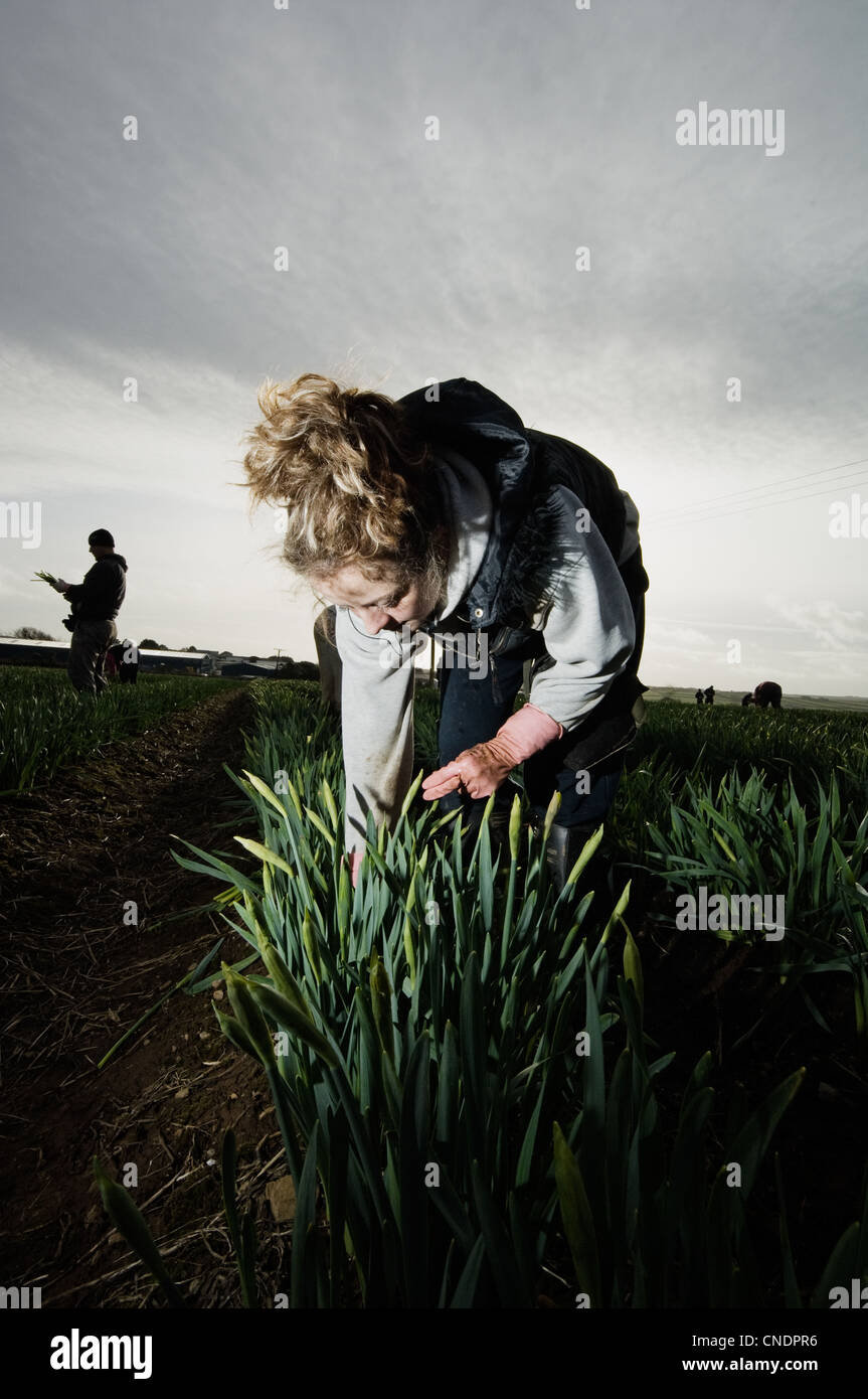 Female migrant worker picking daffodils - Stock Image