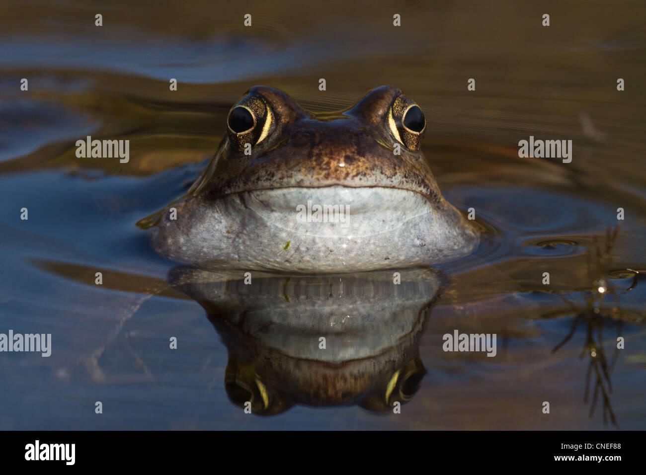 Croaking Common Frog (Rana temporaria) in garden pond, Cambridgeshire, England - Stock Image