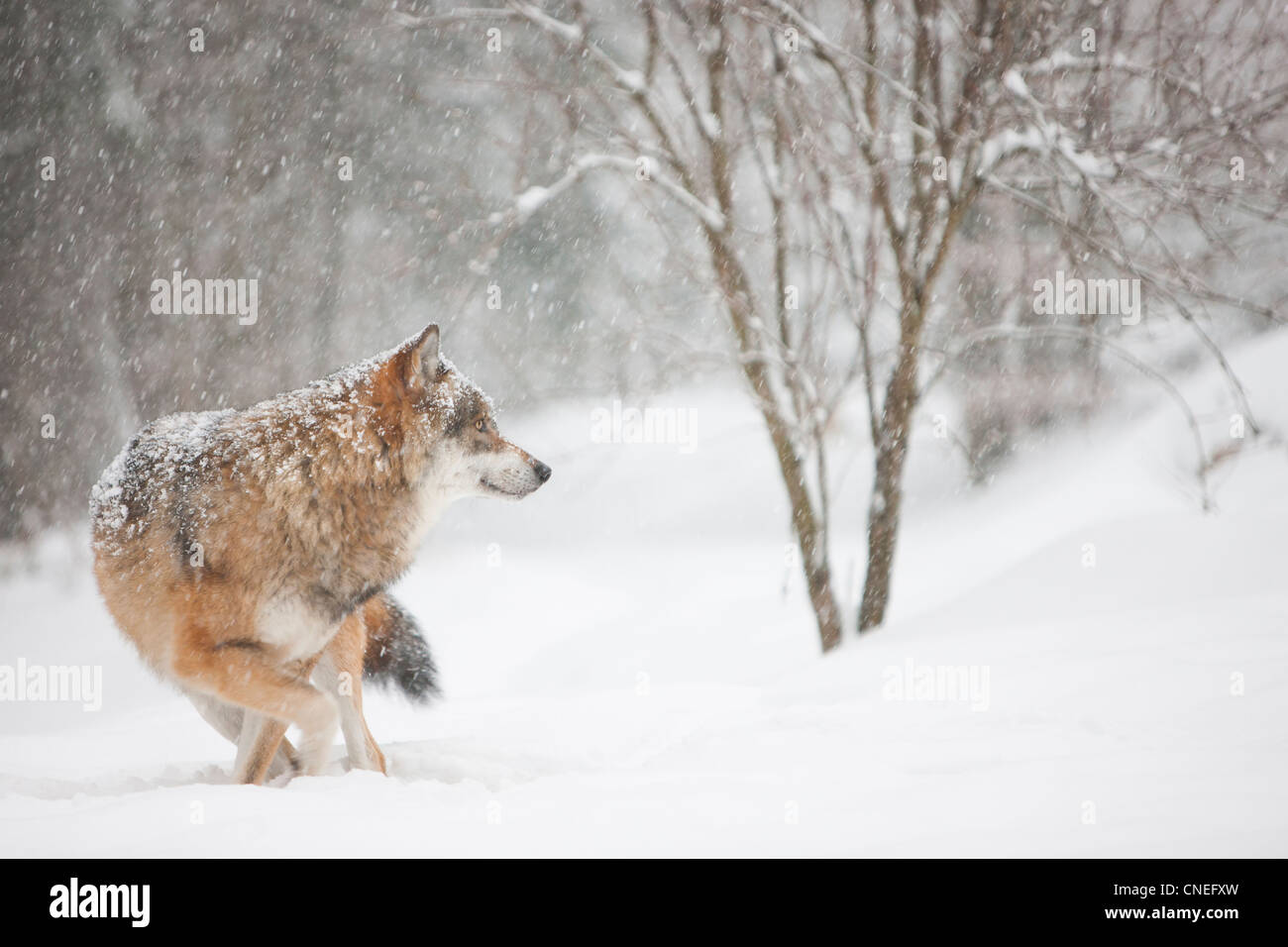 Wolf in snowy scenery - Stock Image