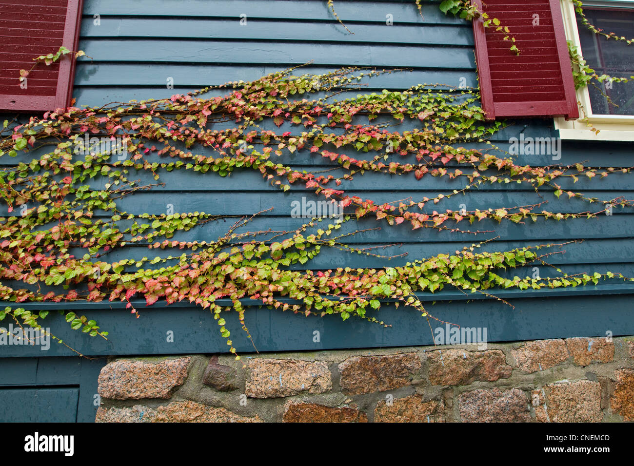 Colorful vines on wall, autumn - Stock Image