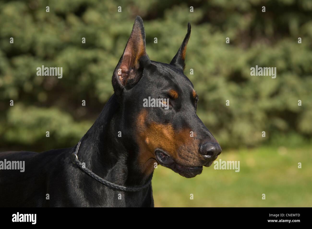 Doberman Pinscher-head shot - Stock Image