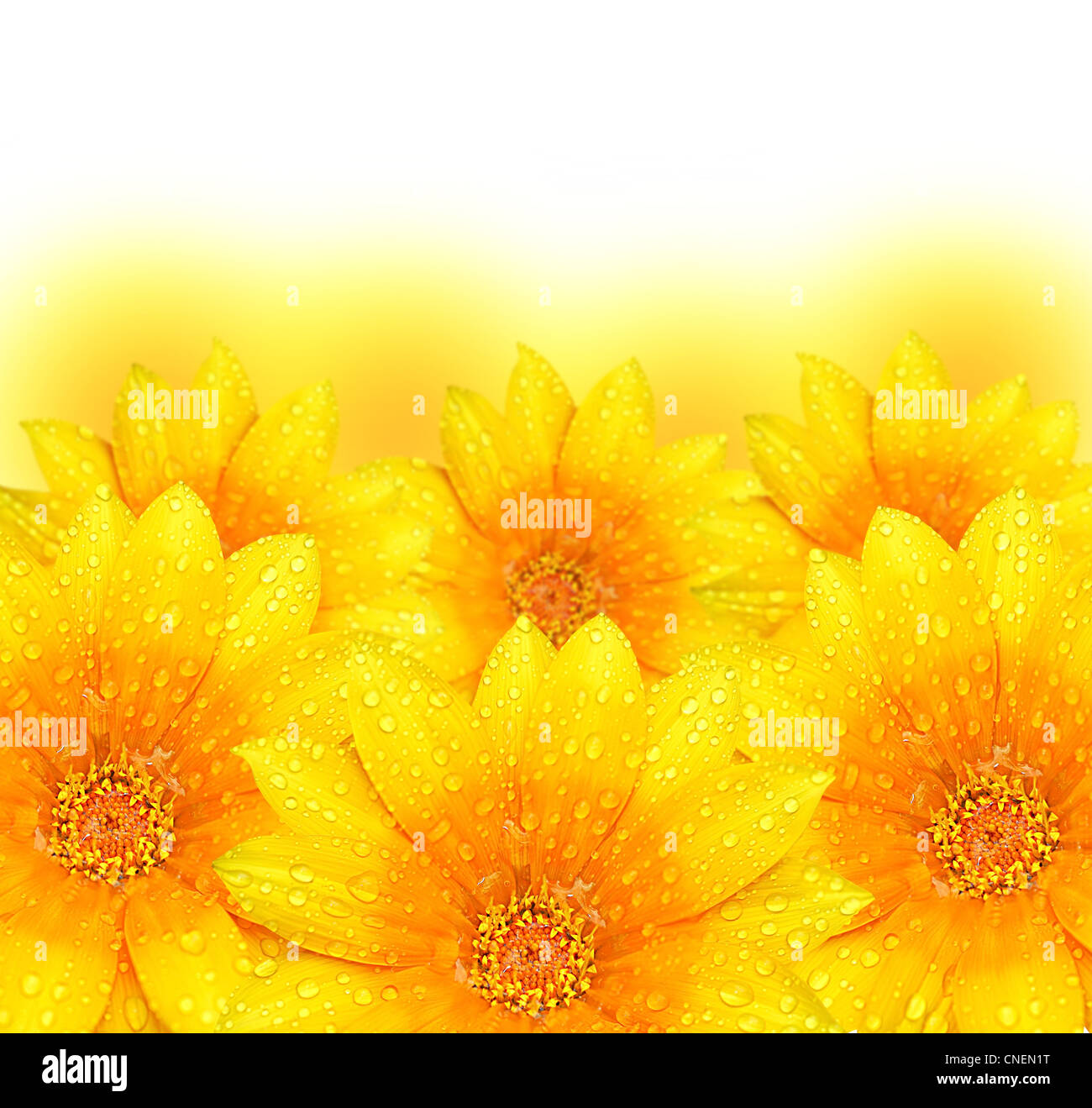 Border Of Yellow Flowers Stock Photos Border Of Yellow Flowers