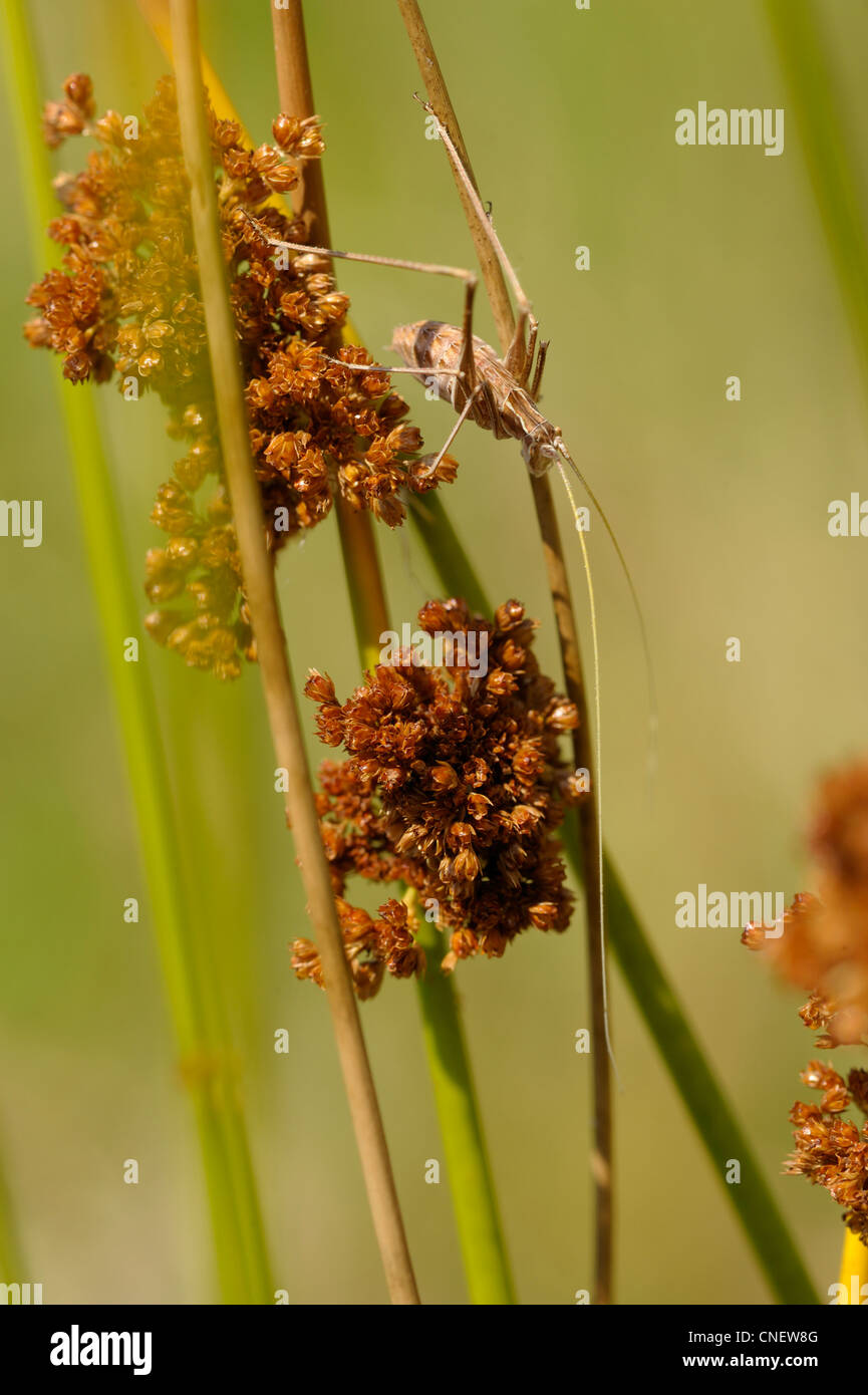 Juncus effusus inflorescence and a grasshopper - Stock Image