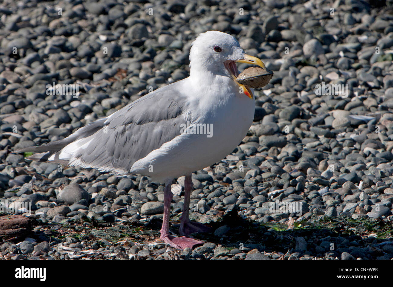Glaucous-winged Gull (Larus glaucescens) with a live clam in its bill on a beach at Esquimalt Lagoon, Victoria, - Stock Image