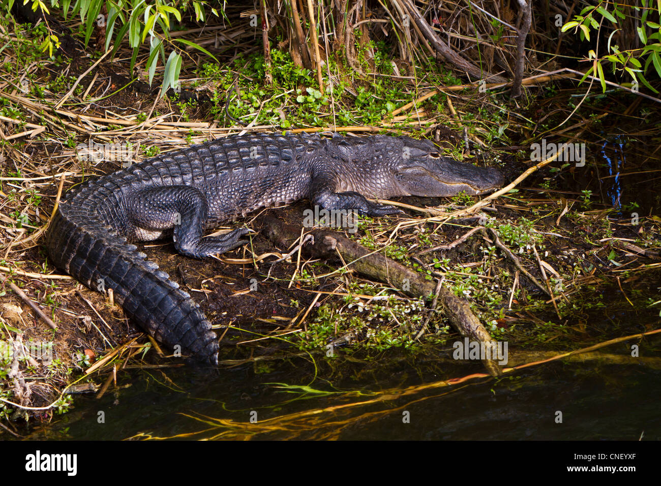 The American alligator in the Everglades National Park, Florida, USA. - Stock Image