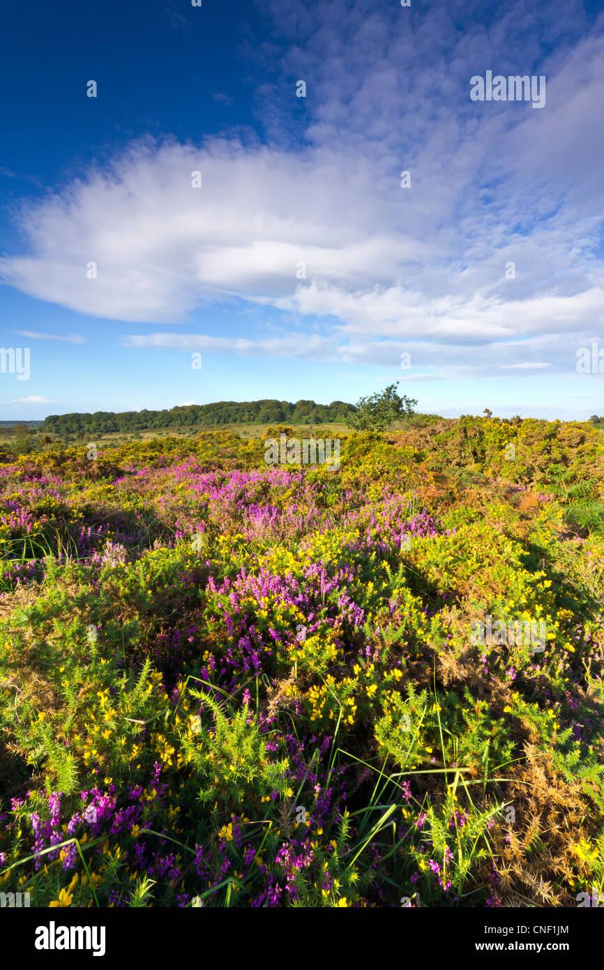 Heathland near Budleigh Salterton Devon Stock Photo