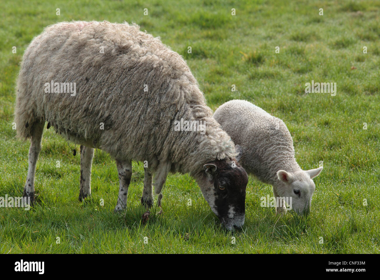 A ewe and her baby lamb in a field during lambing season in Nidderdale, Yorkshire Stock Photo