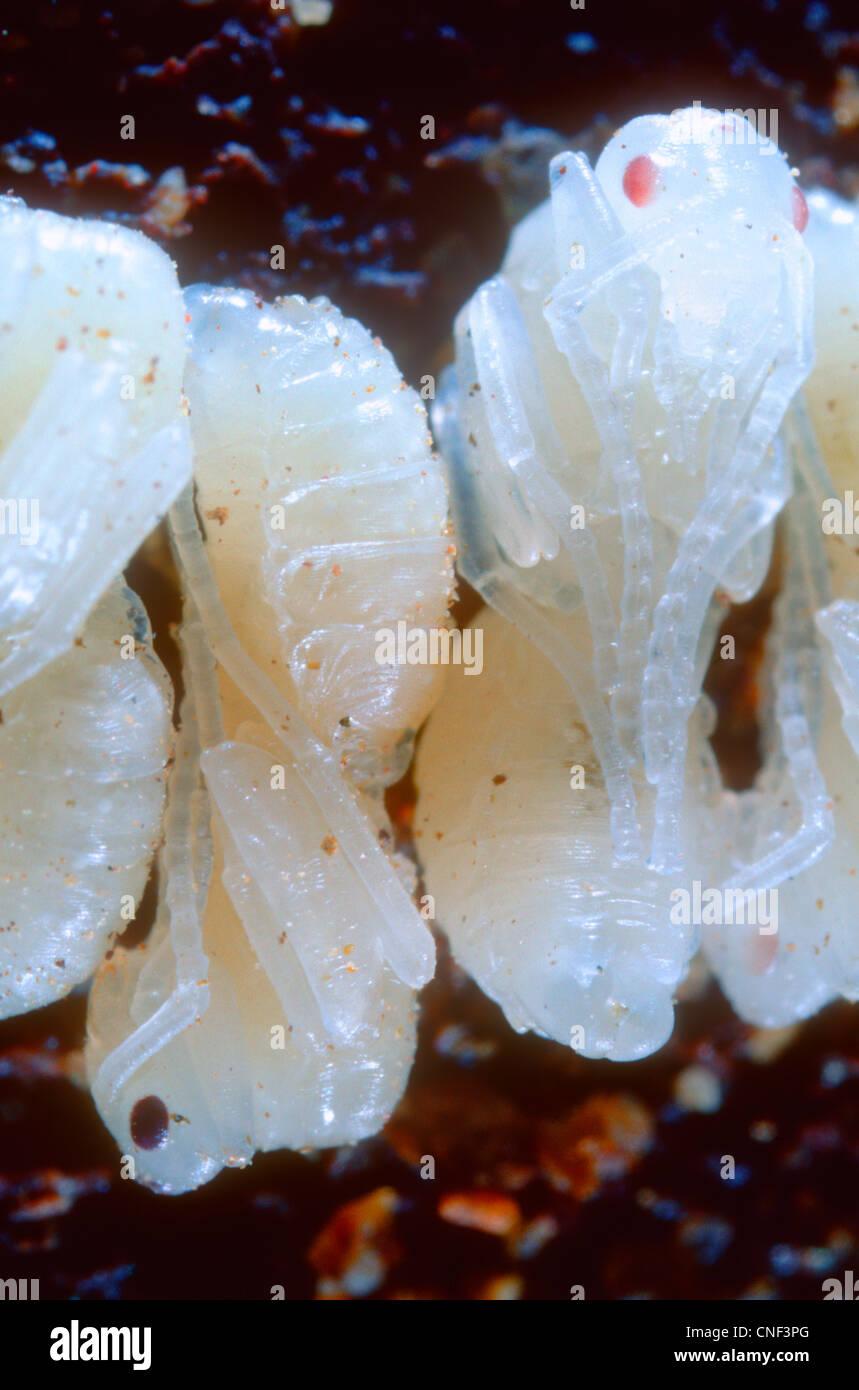 European Harvester Ants, Messor barbara. Pupae closeup - Stock Image