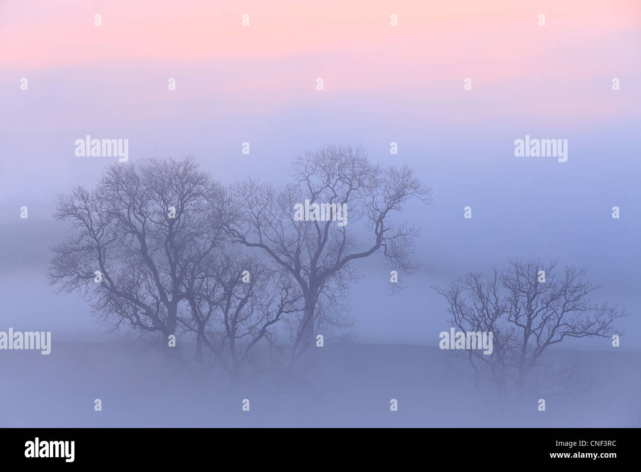 Tree branches surrounded by mist at sunrise near Airton in Malhamdale, Yorkshire - Stock Image