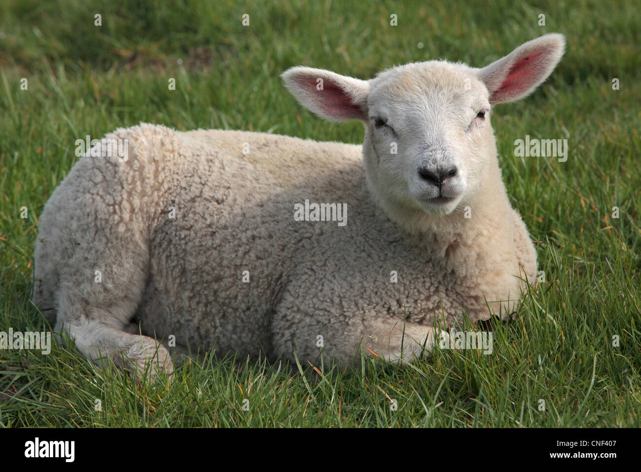 A lamb in a field during lambing season in Nidderdale, Yorkshire - Stock Image