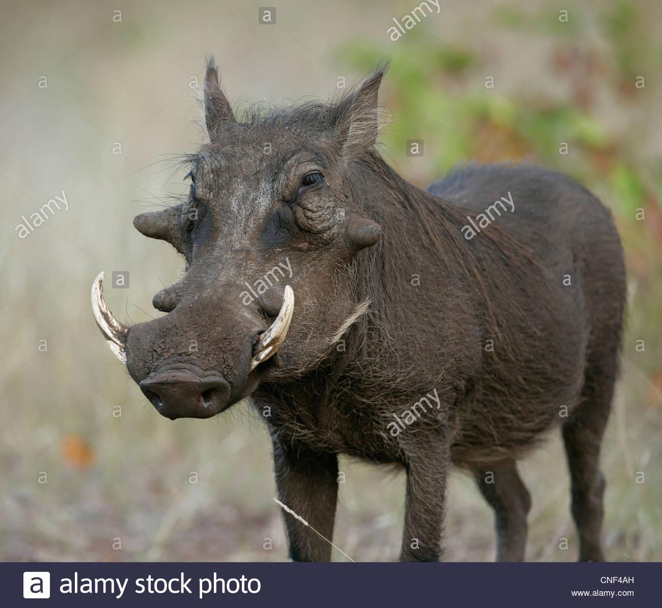 Warthog – Phacochoerus aethiopicus - Stock Image