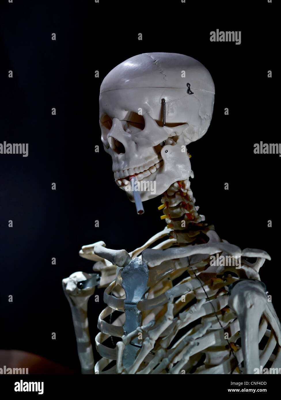 Human skeleton with a cigarette. Concept of the dangers of smoking. Stock Photo