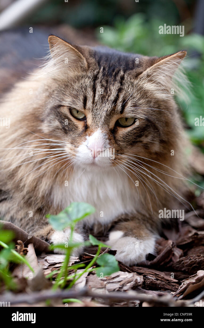 Portrait of adult disgruntled cat sitting in the garden. - Stock Image