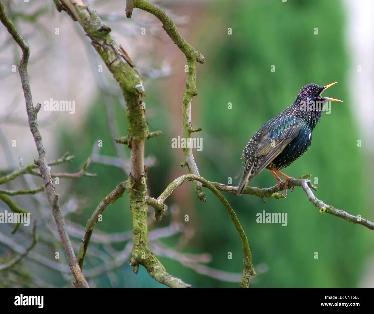 Starling bird singing on the branch Sturnus vulgaris - Stock Image