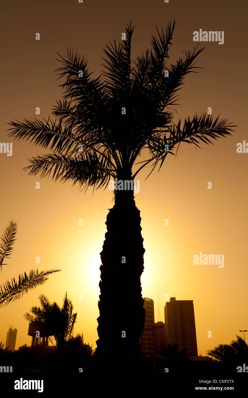 Silhouette of a palm tree taken at sunset in Kuwait City in the Middle East. - Stock Image