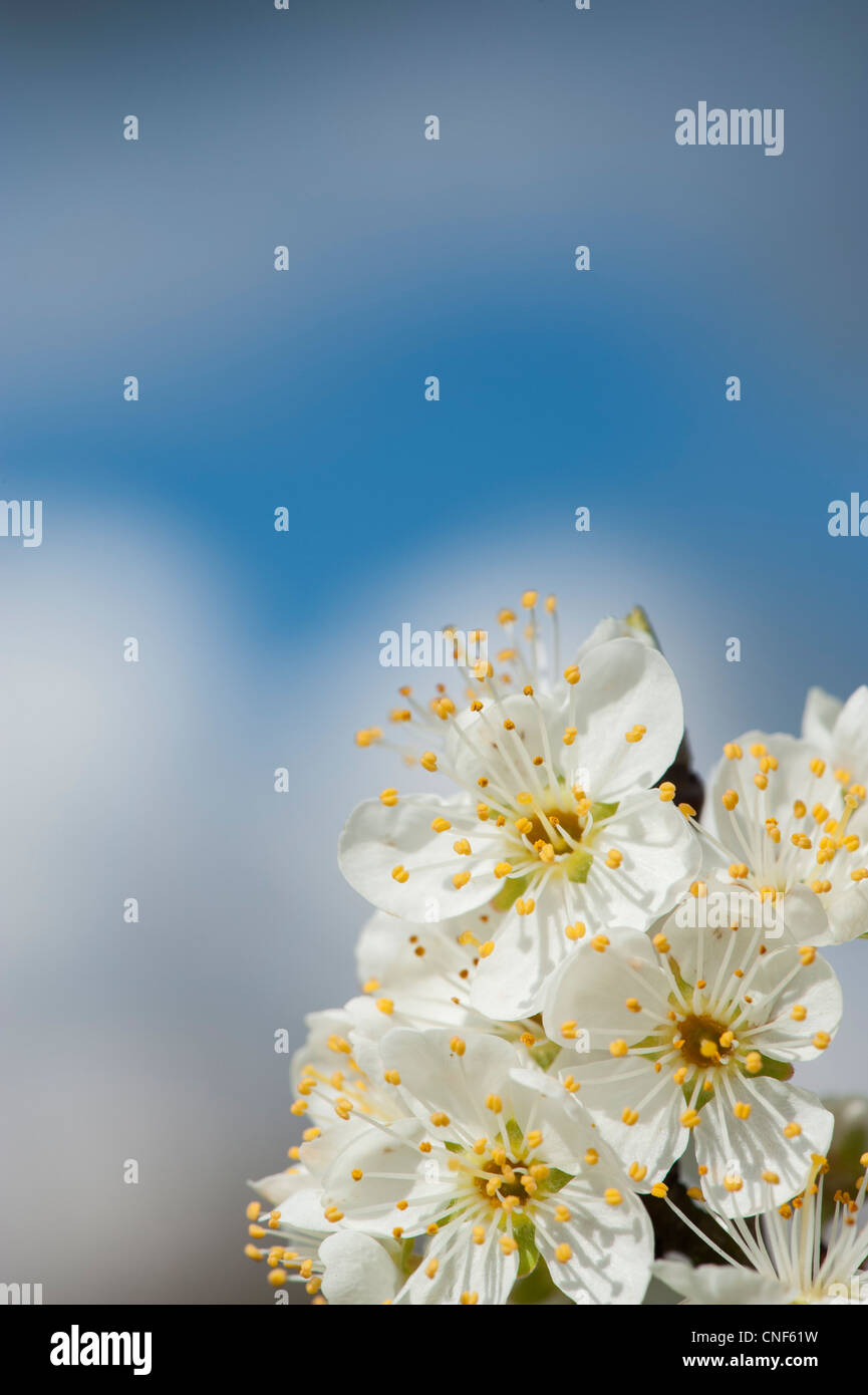 Malus domestica. Apple Tree blossom against blue cloudy sky - Stock Image