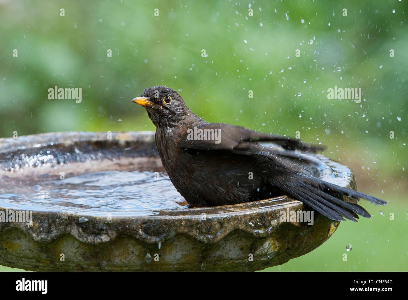 Turdus merula. Female blackbird washing in a bird bath - Stock Image