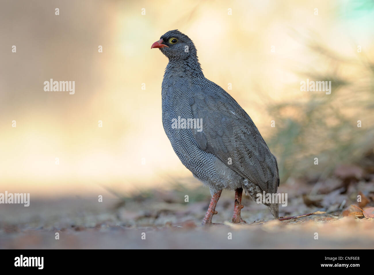 Red Billed Spurfowl standing on ground. - Stock Image