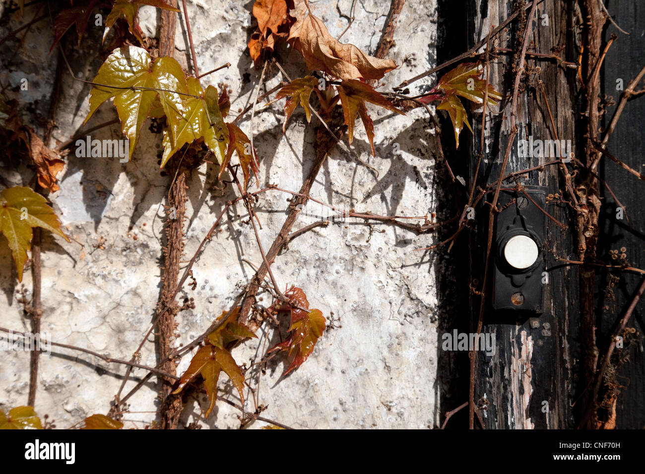 Ivy growing on the wall of a derelict building with the doorbell, Suffolk UK - Stock Image