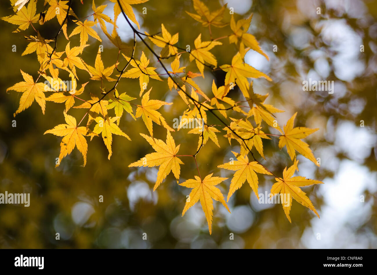 Yellow leaves of the japanese maple in autumn, foliage - Stock Image