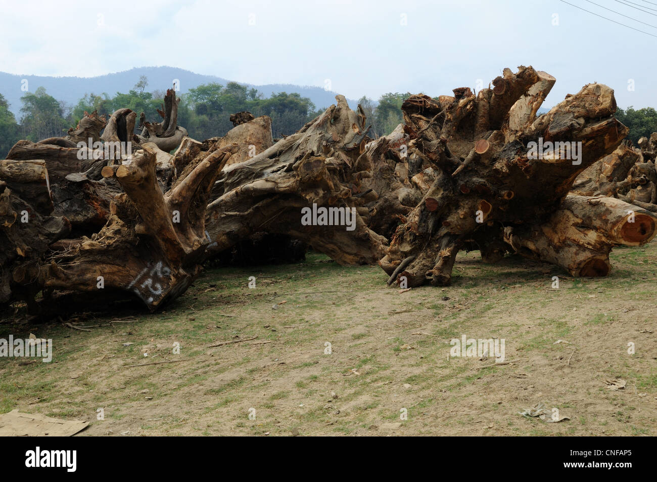 Rosewood Tree roots being exported to China from Laos for carving - Stock Image