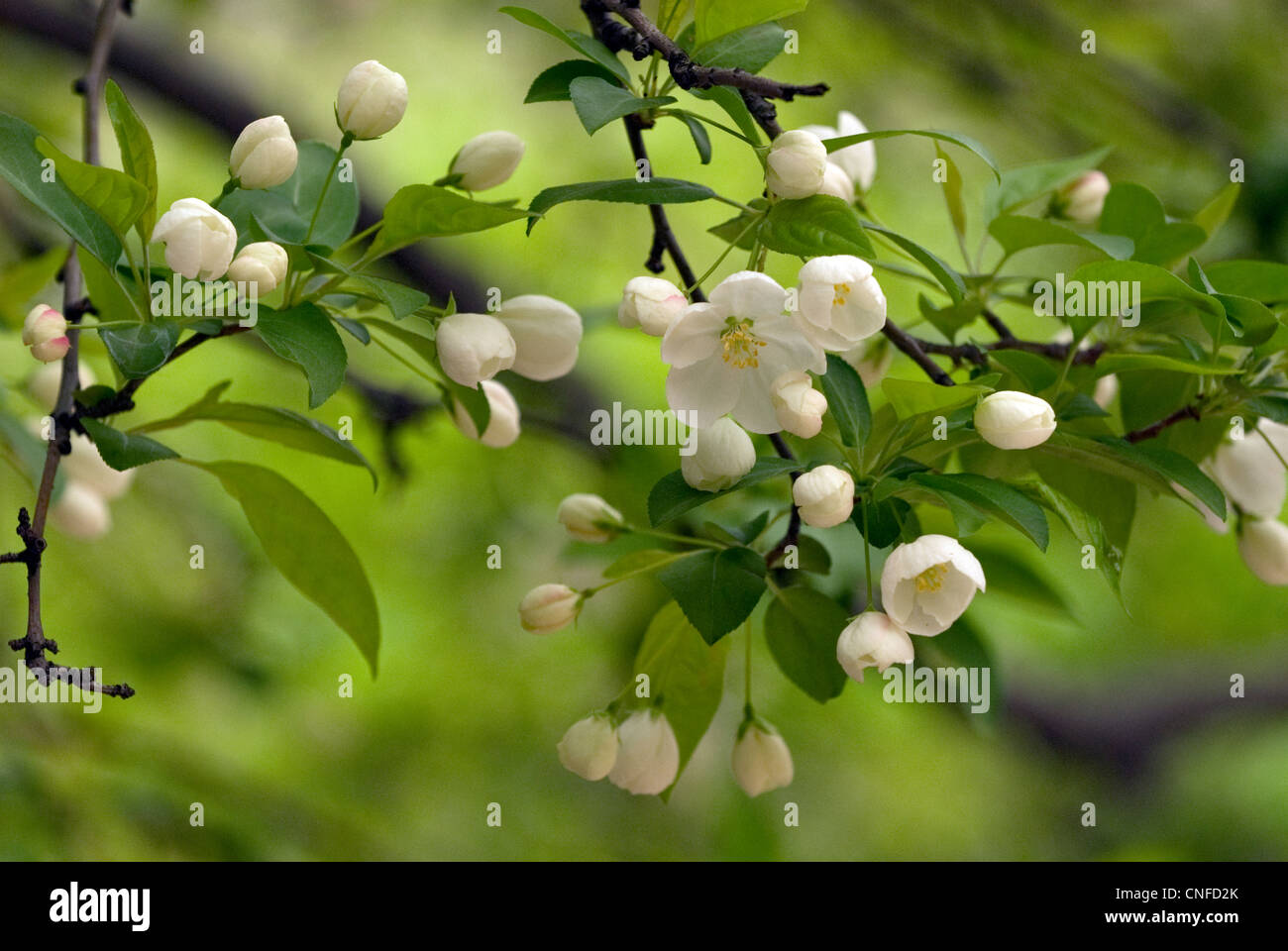 Small White Tree Flowers In Stock Photos Small White Tree Flowers