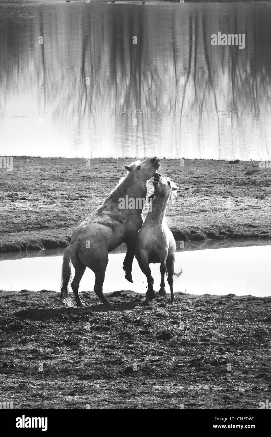 white horses - Stock Image