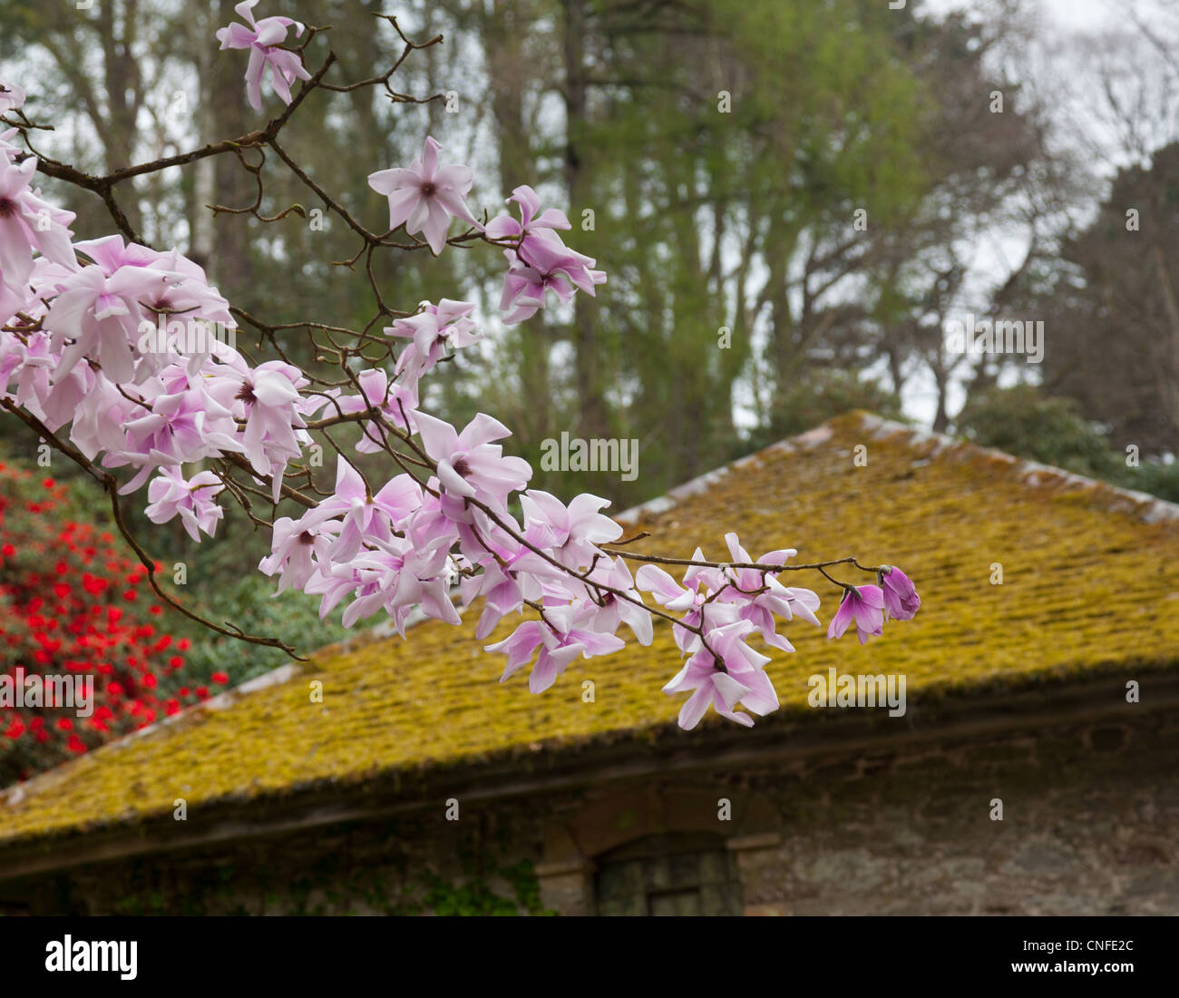 Flowers of the pink Magnolia Stellata shrub in front of old moss covered tile roof - Stock Image