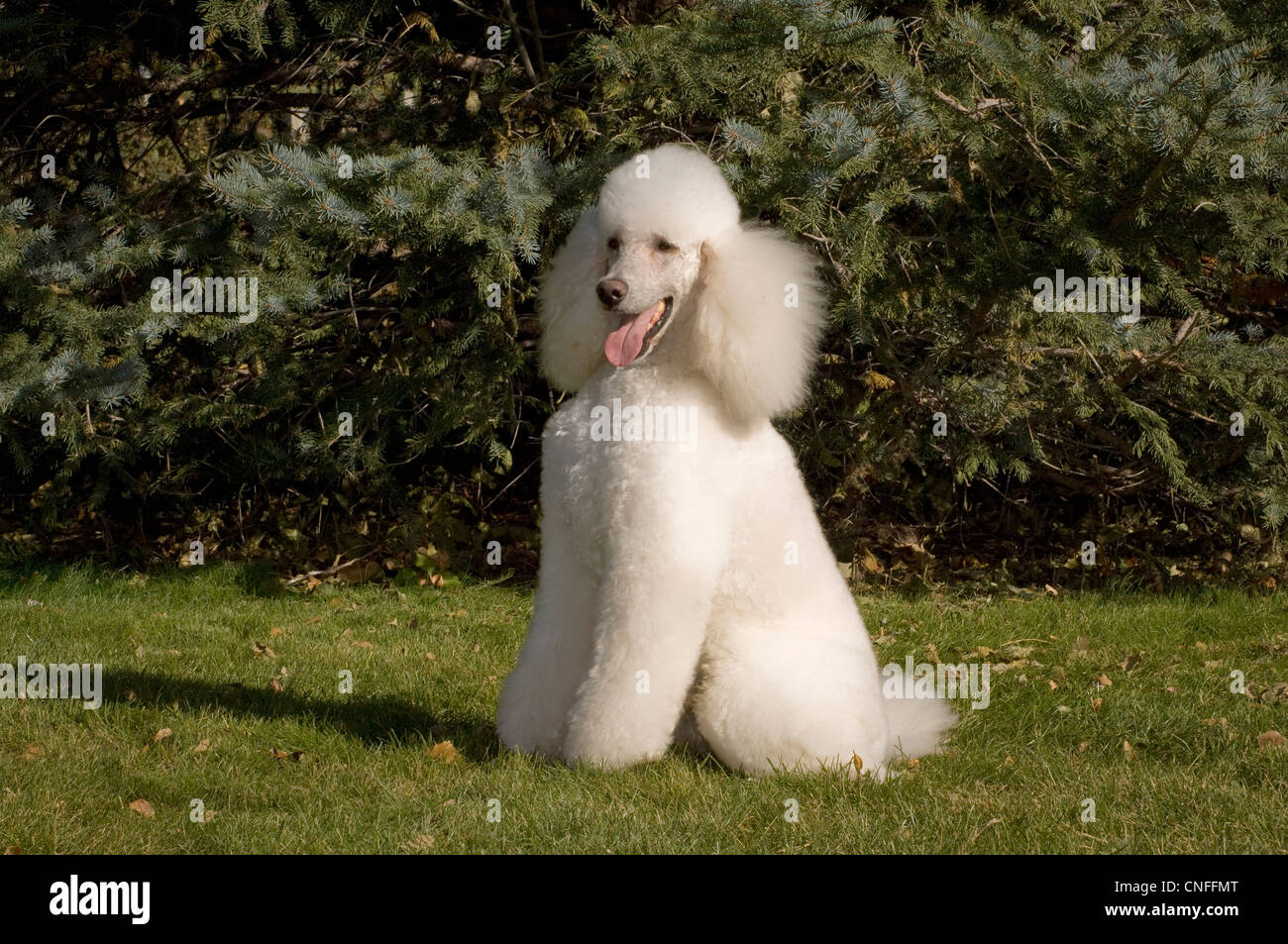 French Poodle sitting in grass - Stock Image