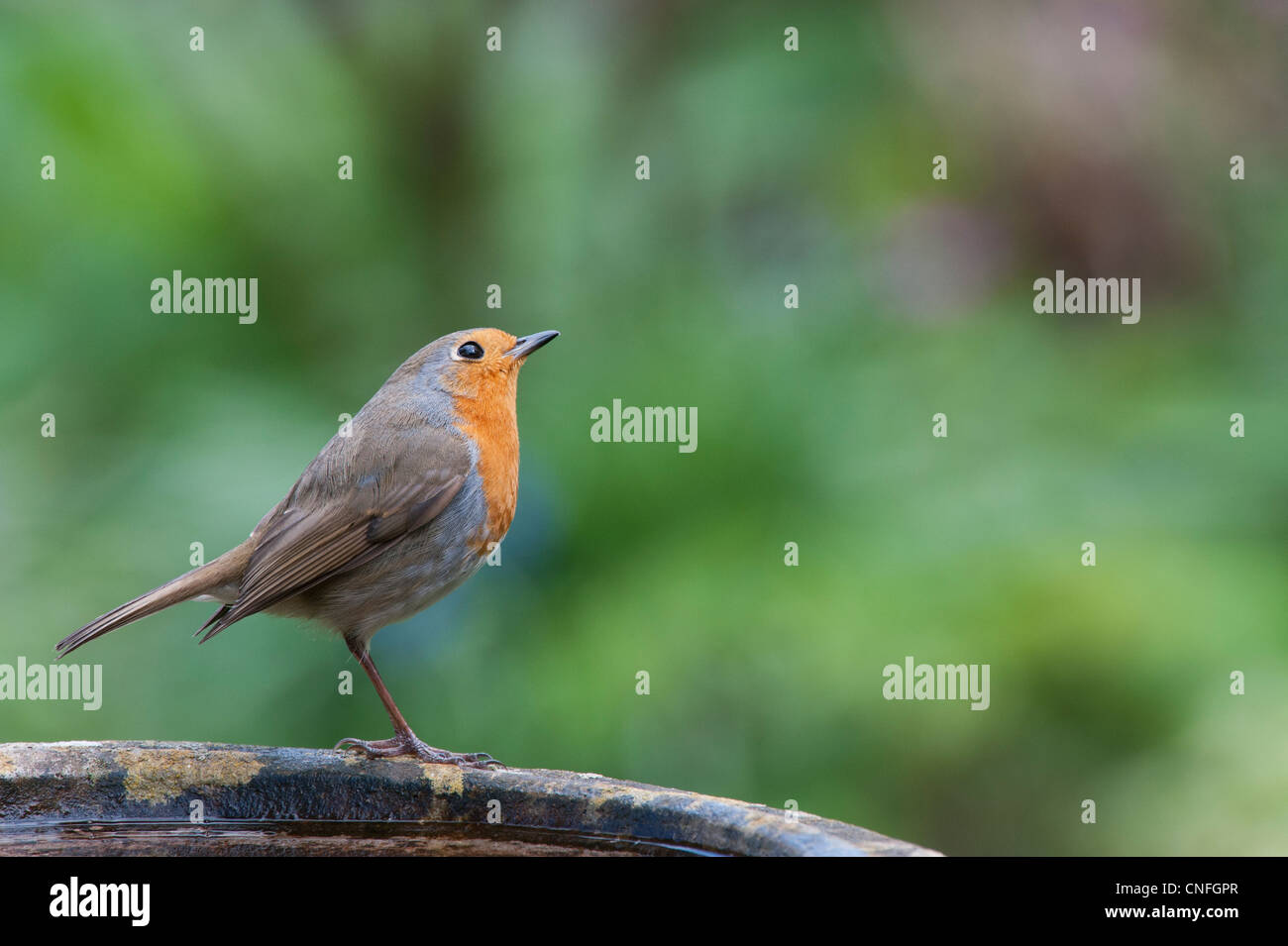 Robin looking up perched on a bird bath in the garden - Stock Image