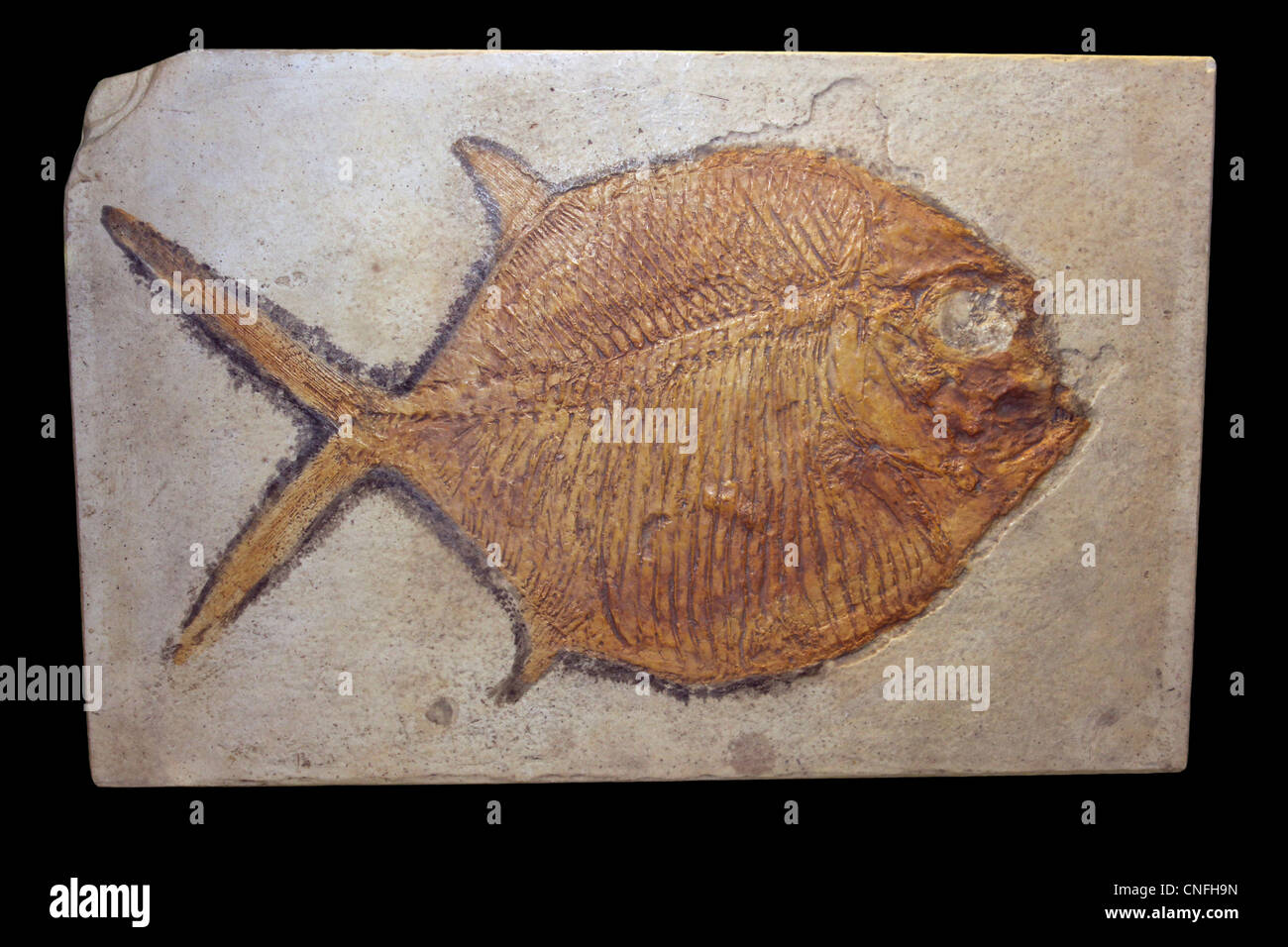Model Cast Of The Prehistoric Fish Gyrodus frontatus, Lithographic Limestone, Bavaria - Stock Image