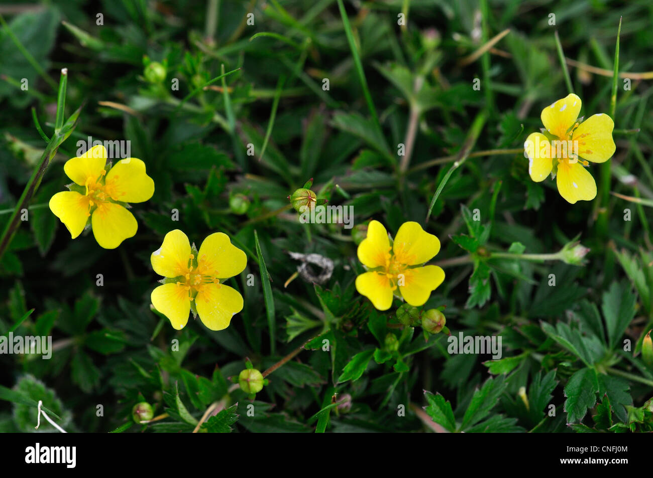 Four flowers of tormentil a wild flower uk stock photo 47671924 four flowers of tormentil a wild flower uk mightylinksfo