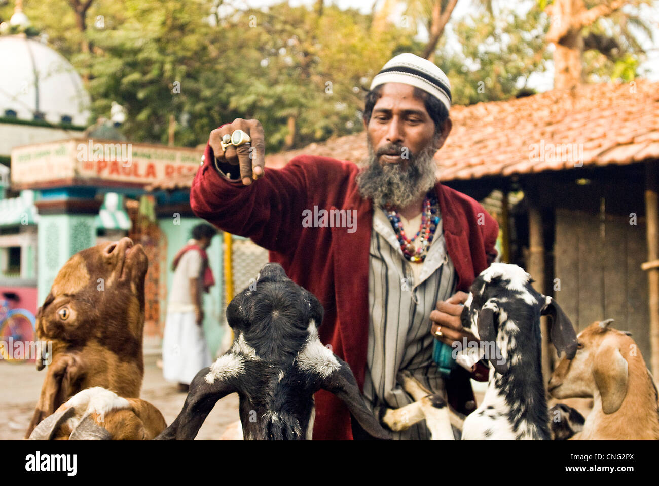 Sufi saint feeding goats in the front of Pagla Baba majar in Tollygunge  Calcutta India - Stock Image