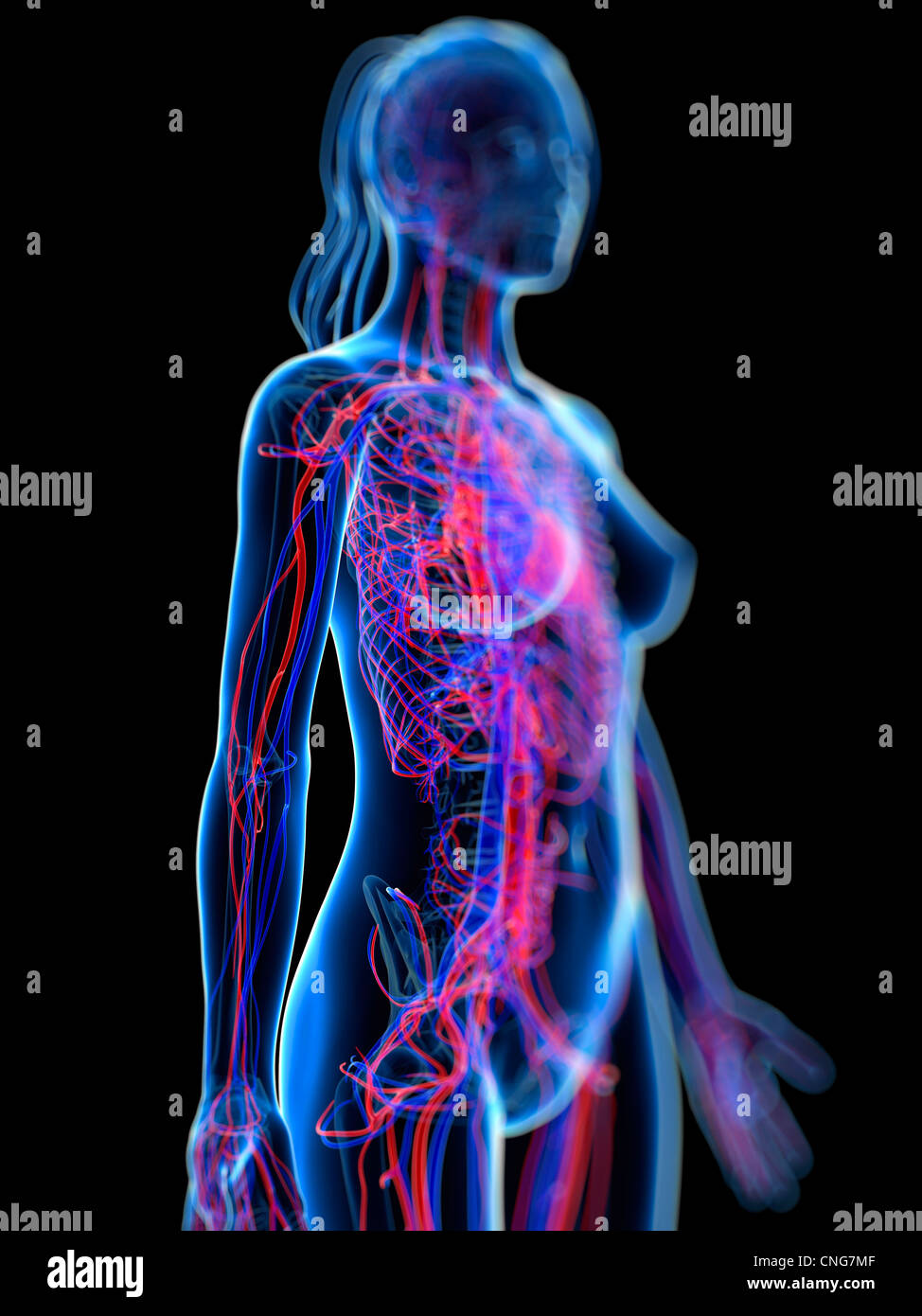 Cardiovascular System Artwork Stock Photo 47685807 Alamy