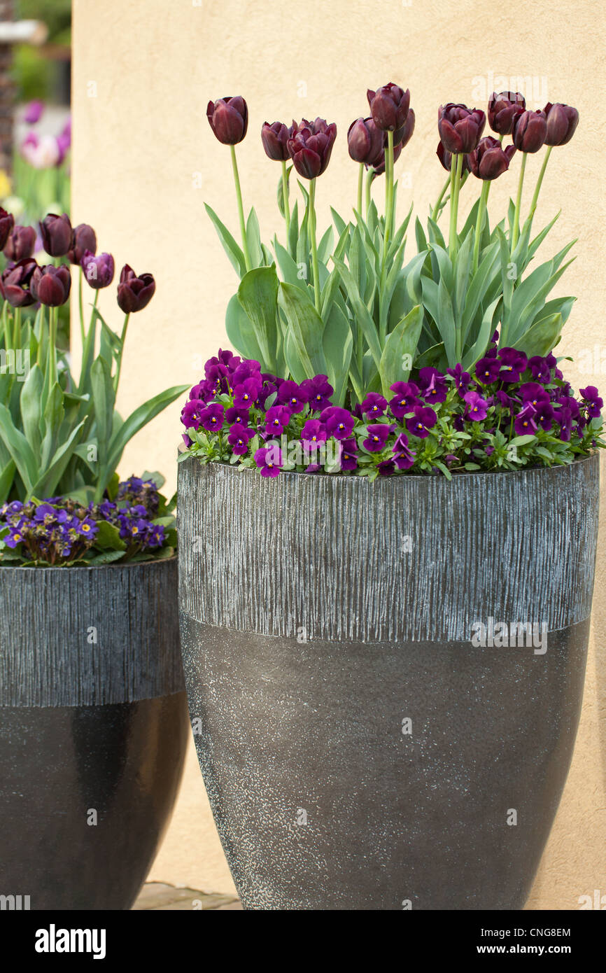 Purple Pansies And Tulips In Large Pots. Holland, Lisse, Keukenhof
