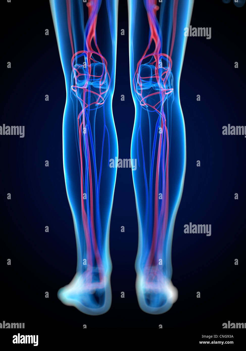 Vascular System Of The Legs Stock Photos & Vascular System Of The ...