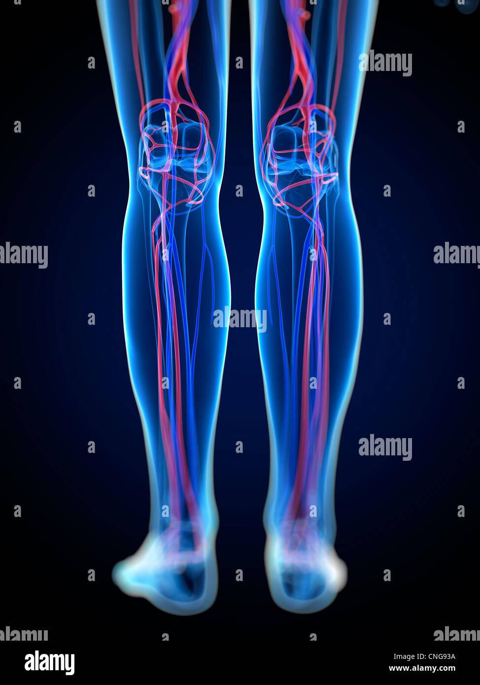 Artery Legs Stock Photos Artery Legs Stock Images Alamy