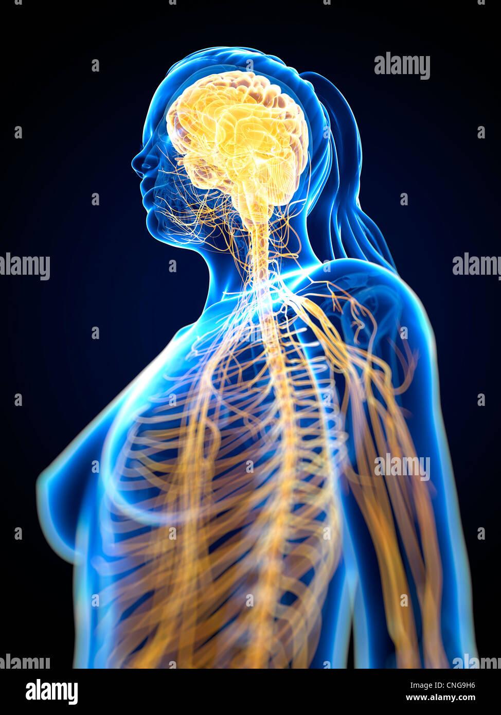 Nervous system  artwork - Stock Image