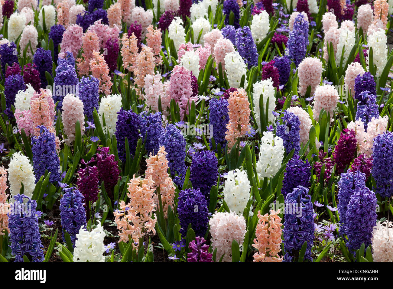 Flowerbed with Hyacinths (Hyacinthus) Stock Photo