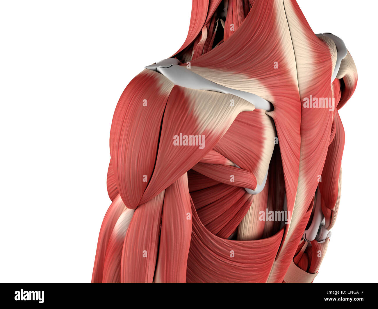 Male musculature  artwork Stock Photo
