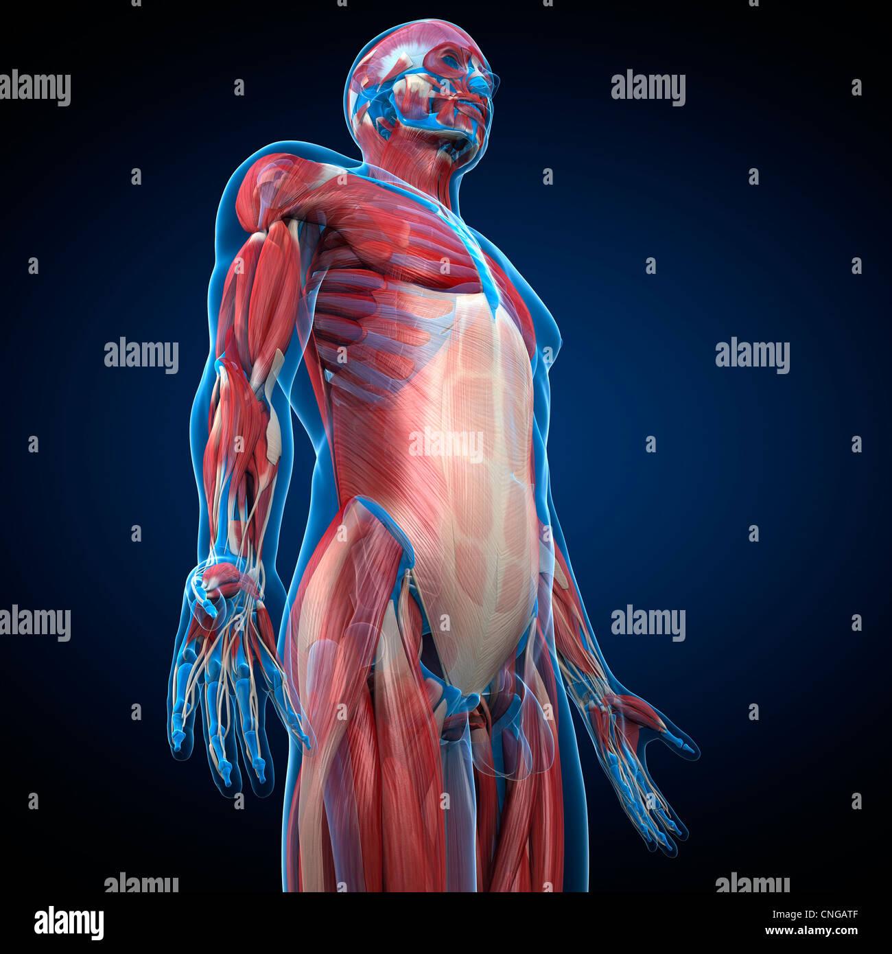 Male musculature  artwork - Stock Image