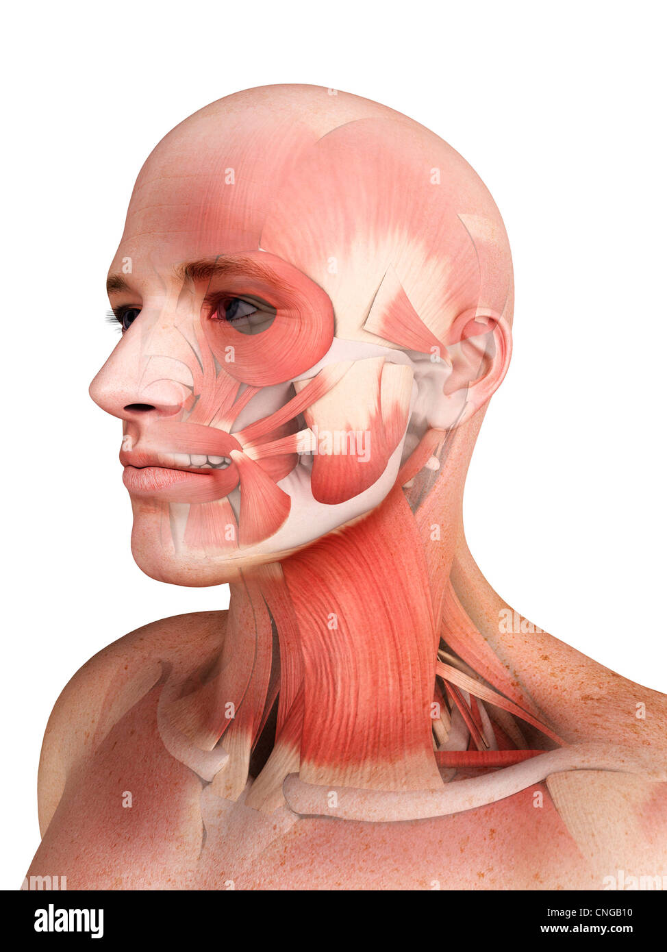 Male musculature  artwork - Stock Image
