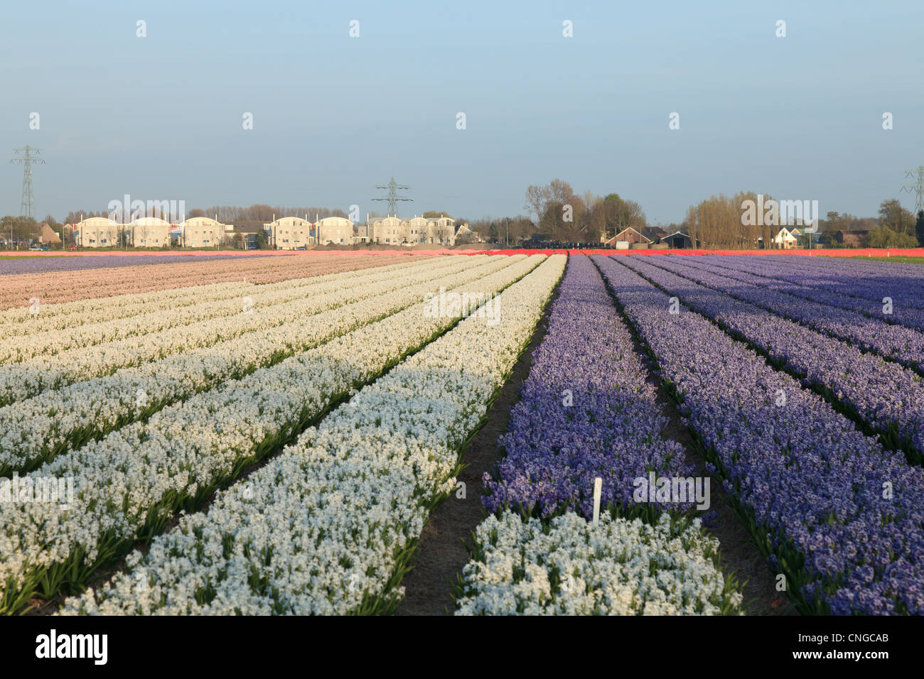 """Holland, """"Dune and Bulb Region"""" in April, here, field of hyacinths. Stock Photo"""