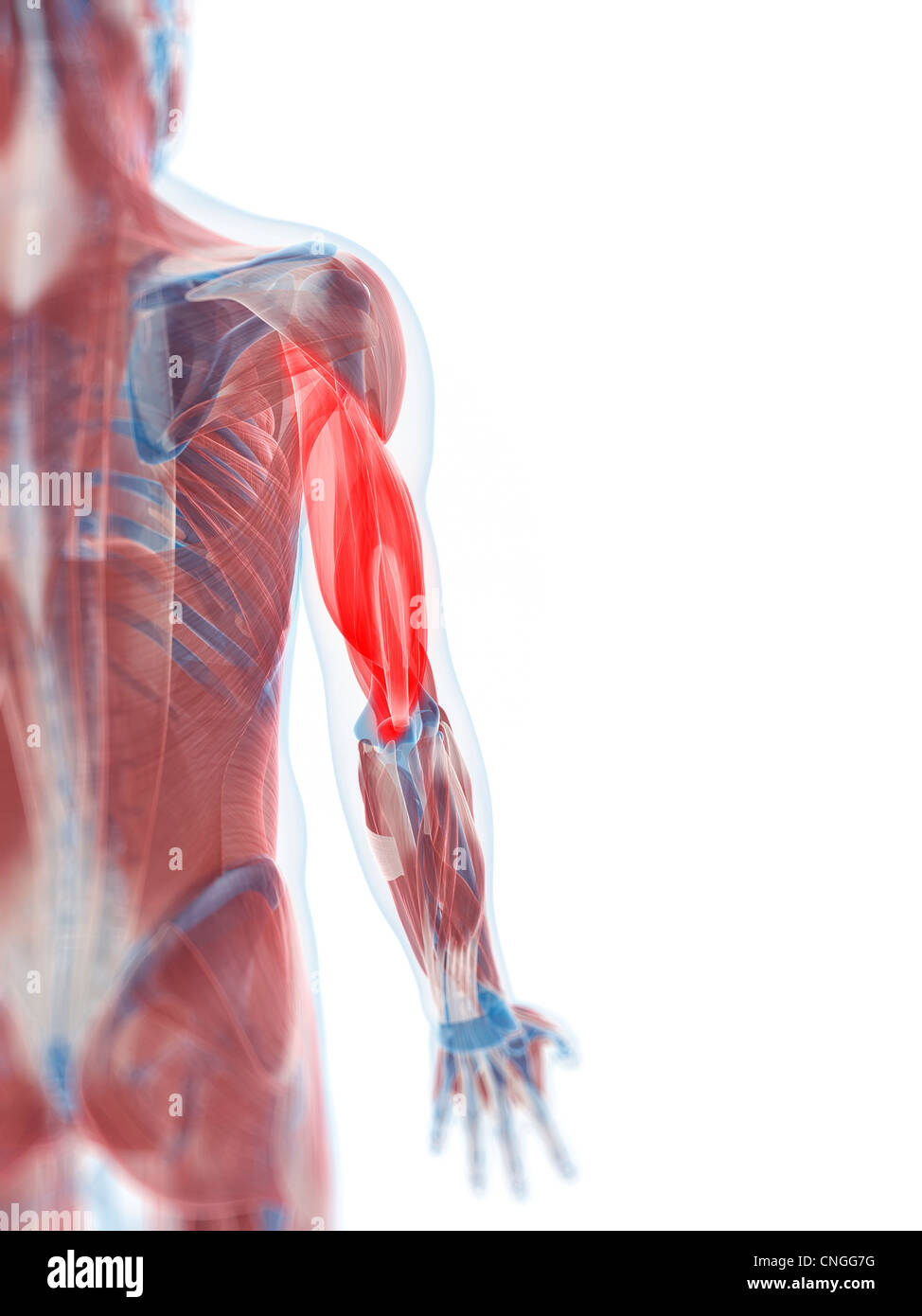Triceps muscle  artwork - Stock Image