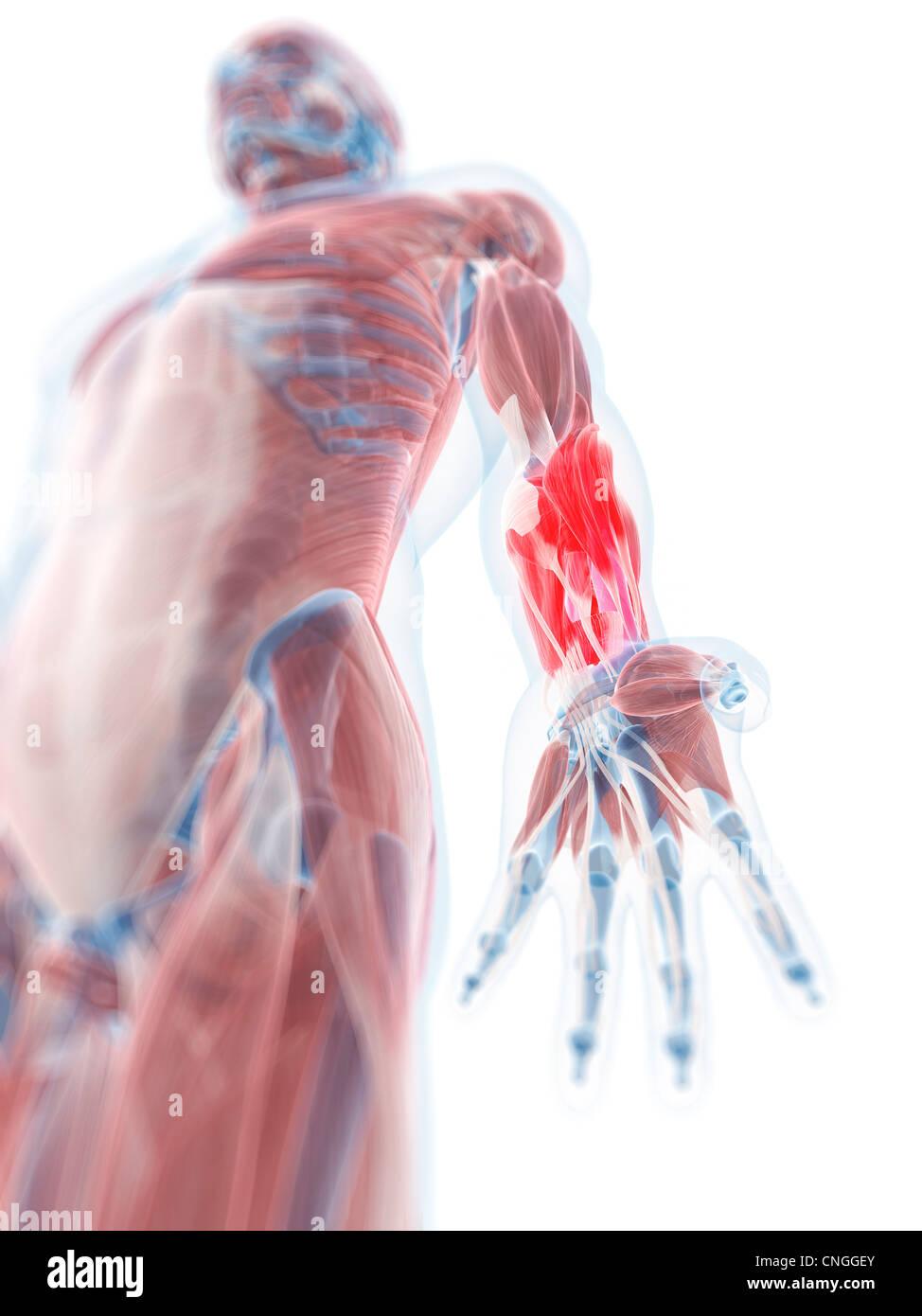 Lower arm anatomy artwork Stock Photo: 47692707 - Alamy