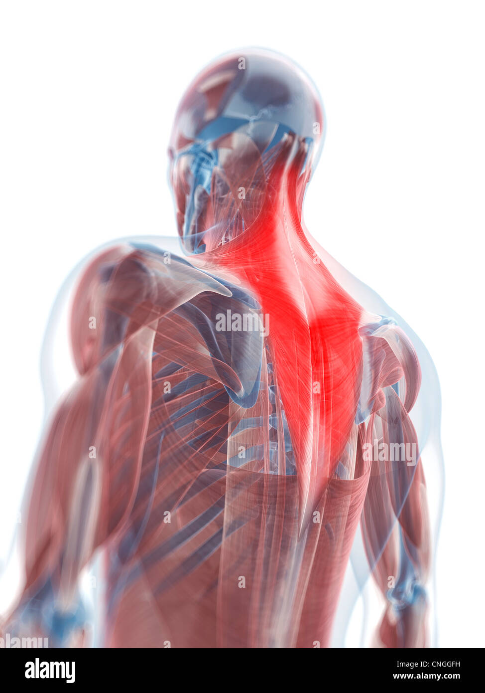 Trapezius muscle  artwork - Stock Image