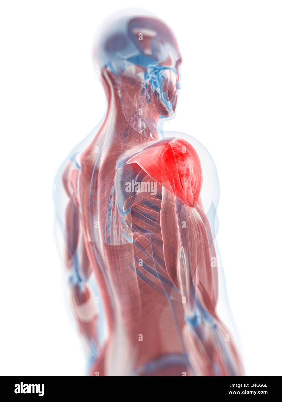 Deltoid muscle  artwork - Stock Image